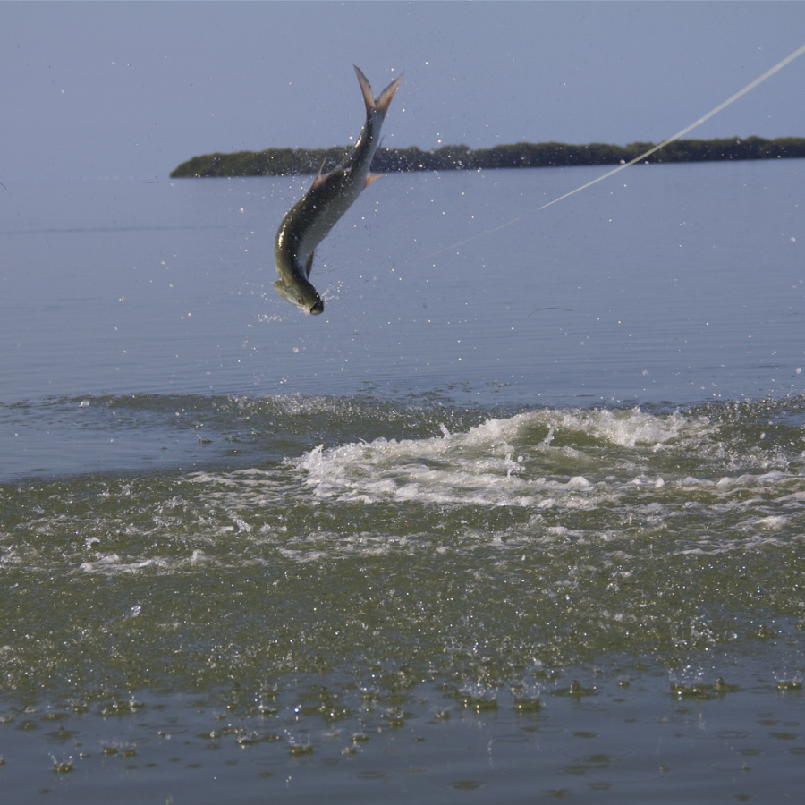 Everglades Tarpon